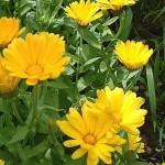 Календула: лечебные свойства, противопоказания