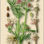 настойка корень валерианы фото