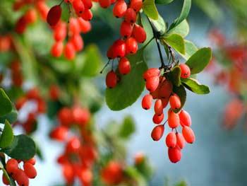 ягоды барбариса фото