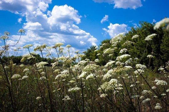 трава болиголов фото
