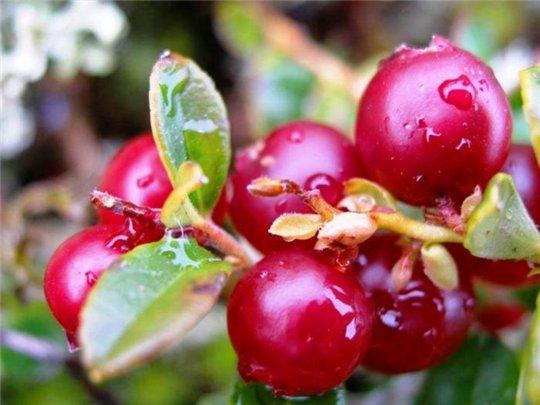 брусничные ягоды фото