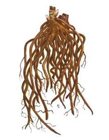 корень морозника фото