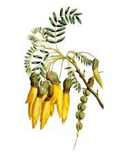 Софора полезные свойства и противопоказания