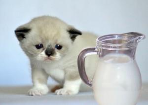 Можно ли котятам давать молоко – вся правда об этом продукте питания для животных