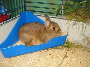 Как приучить кролика к туалету?