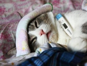У кота температура, что делать в таком случае