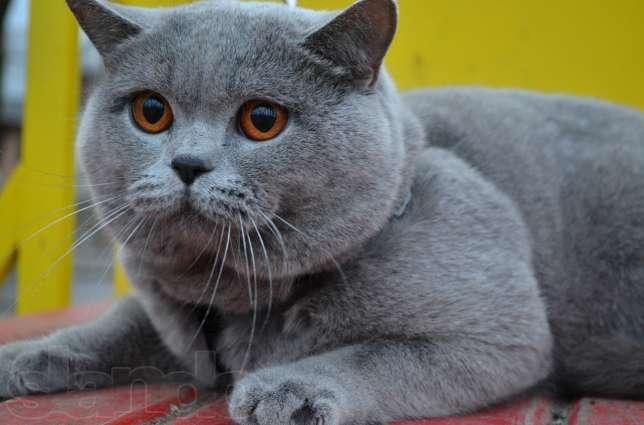 Сколько живут коты породы британские