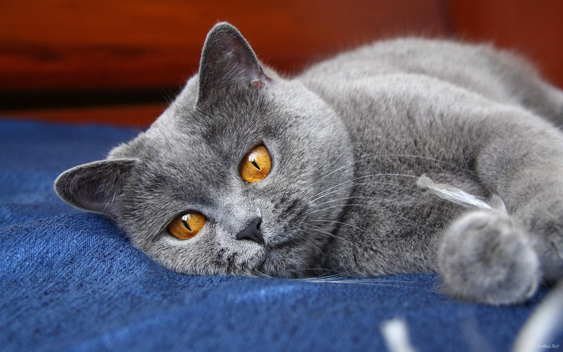 Сколько живут британские кошки? Можно ли им продлить жизнь?