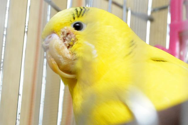 Нарост на клюве у волнистого попугая как лечить