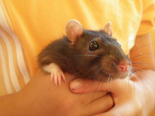Декоративные крысы – правильный уход и содержание