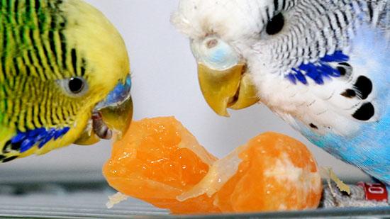 Чем кормить волнистых попугаев, кроме корма?