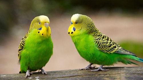Сколько живут волнистые попугаи в домашних условиях. Как продлить им жизнь?