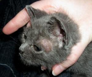 Лишай у кошек – симптомы, диагностика, лечение
