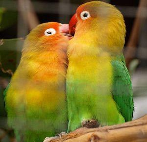 Попугаи-неразлучники - уход и содержание в домашних условиях