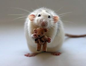Сколько живут декоративные крысы?