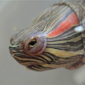 Плюшка красноухая черепаха