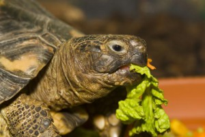 Чем кормить речную черепаху в домашних условиях?