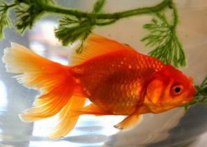 Сколько живут аквариумные золотые рыбки в домашних условиях?