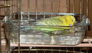 Как купать волнистого попугая?