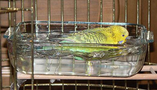 Ромашка для попугая волнистого