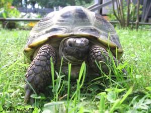 Сколько живет сухопутная черепаха?