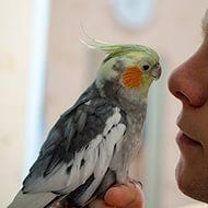 Как научить говорить попугая кореллу?