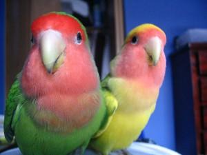 Попугаи-неразлучники: как определить пол?