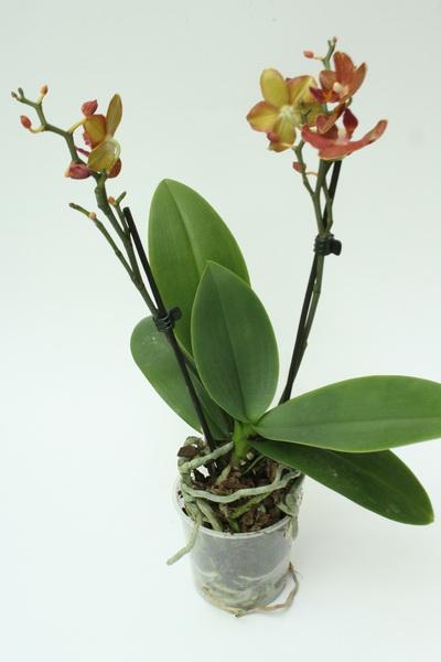 Как пересадить орхидею в горшок побольше?