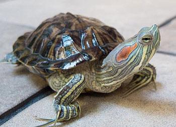 Красноухие черепахи половой член самца