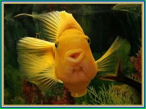 Рыбка-попугай - содержание и уход