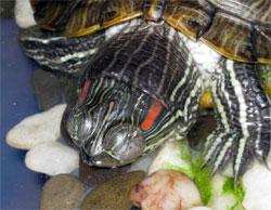Почему красноухая черепаха не открывает глаза?