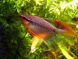 Гурами - уход и содержание в аквариуме